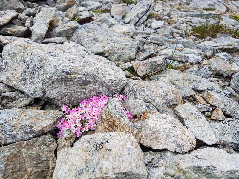 Bloemen in de bergen van Livigno © Claudia Zanin