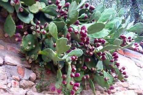 Cactusvruchten