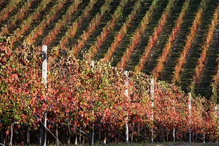 Wijngaard in het najaar Castelvetro-(Mo) © APT Emilia Romagna