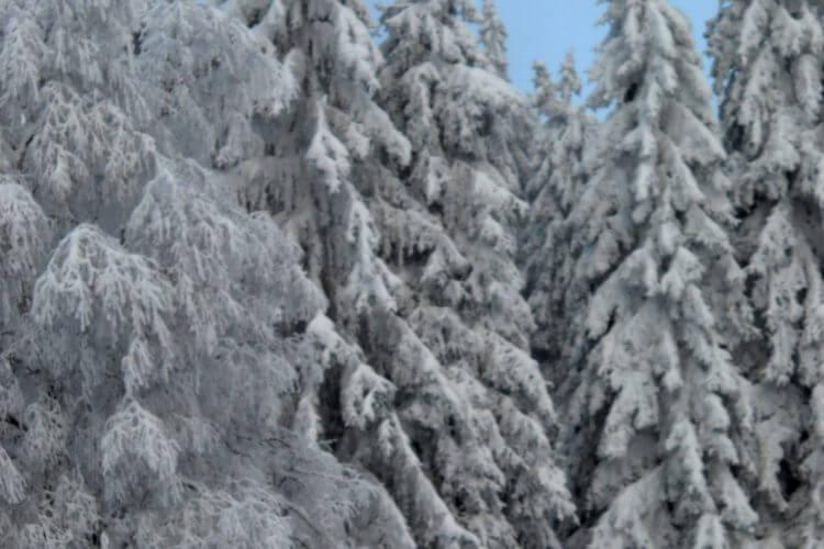 dennenbomen wintersport