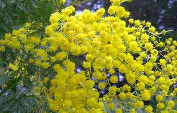 Mimosa voor internationale vrouwendag