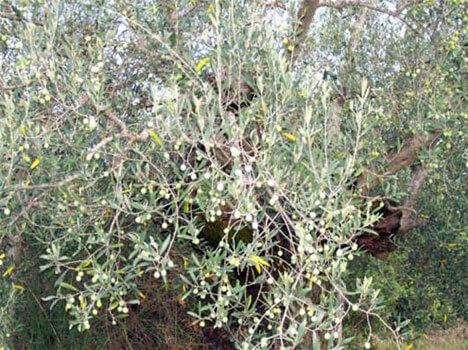 De olijfolie van volgend jaar
