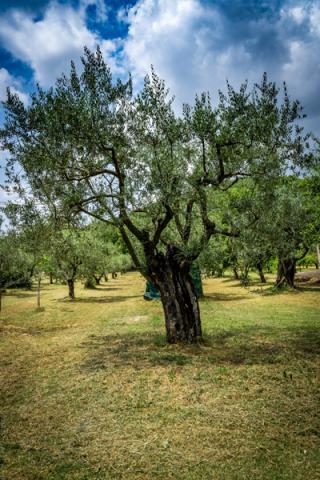 Olijfbomen © Bruce Kee
