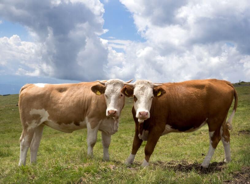 politieke koeien © Claudia Zanin