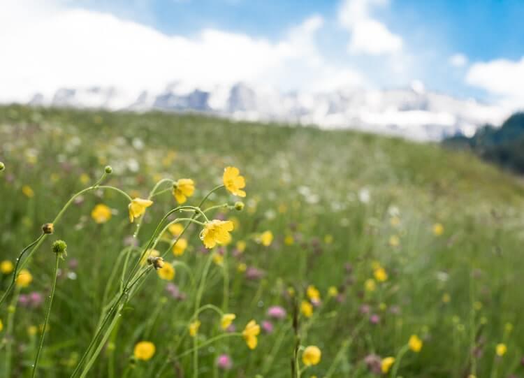 Bloemen en planten in Val Gardena © Claudia Zanin